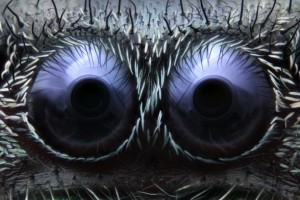 3-jumping-spider-eyes-microscope-fram-schwartz
